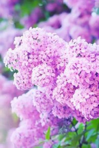 Dictons_avril_lilas