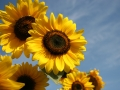 dictons_aout_tournesols